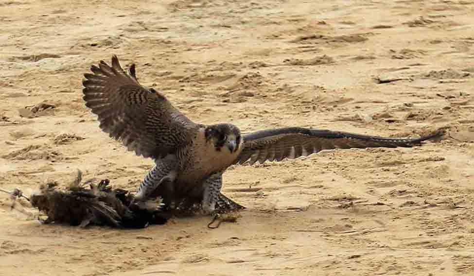 falconry-dubai
