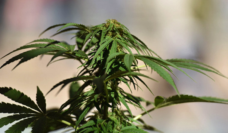 Thailand approves medical cannabis as 'New Years gift'