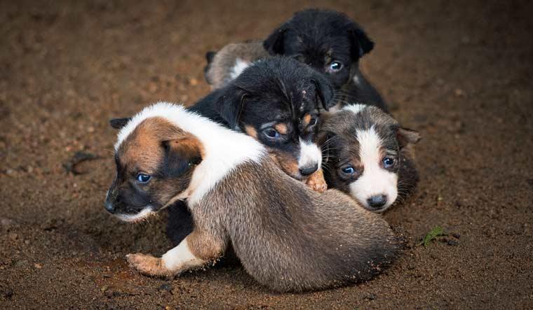 dogs_lanka