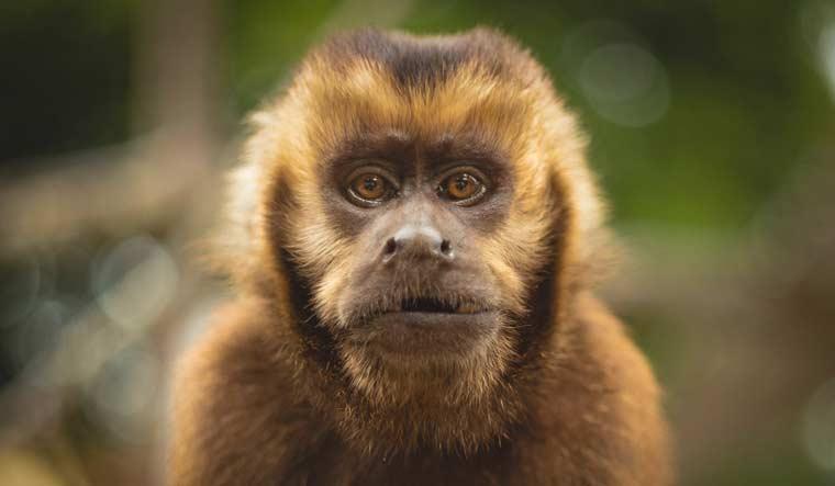 Mono-capuchino-Colm-Moore