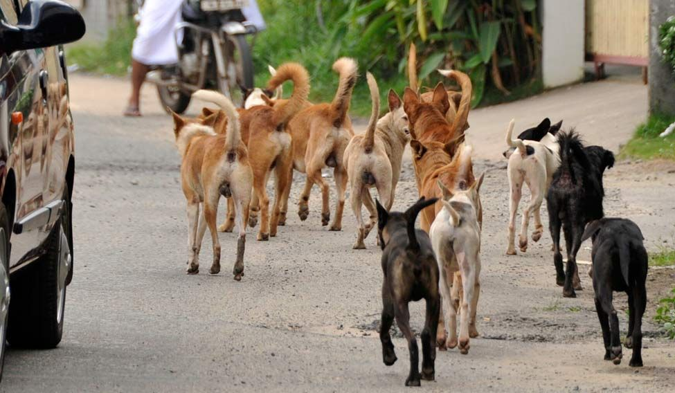 Stray dogs 'devour' 65 year old lady, injure another in Kerala