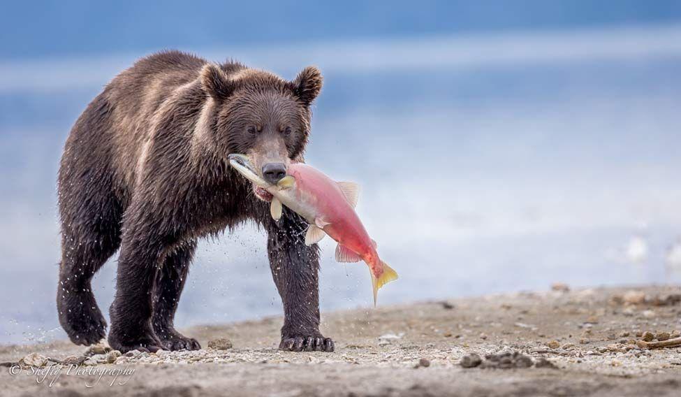 shefiq-bear