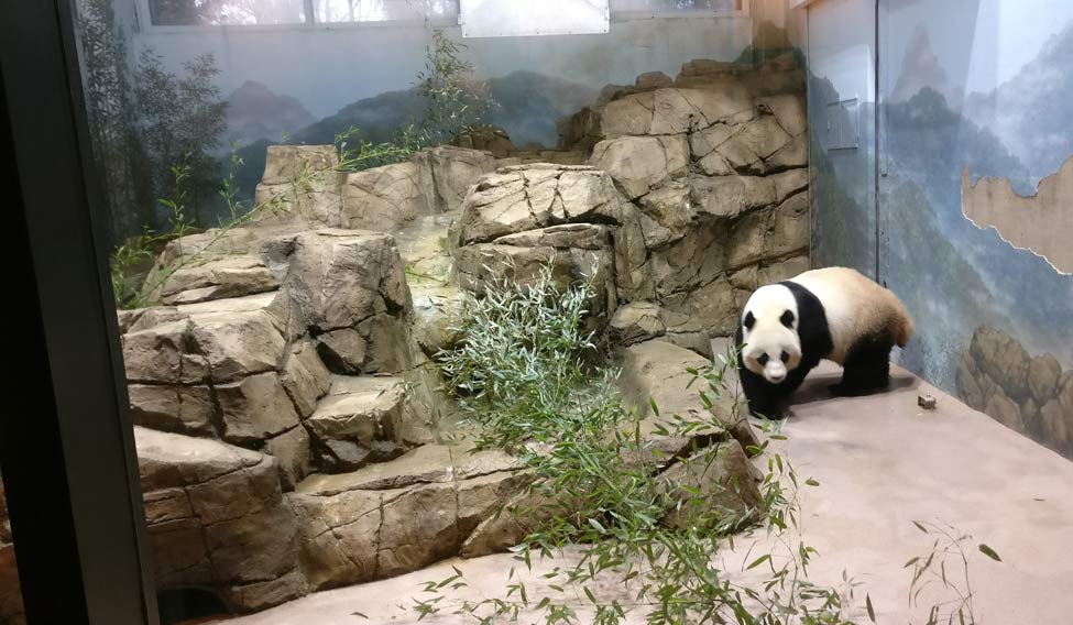 giant-panda-mini
