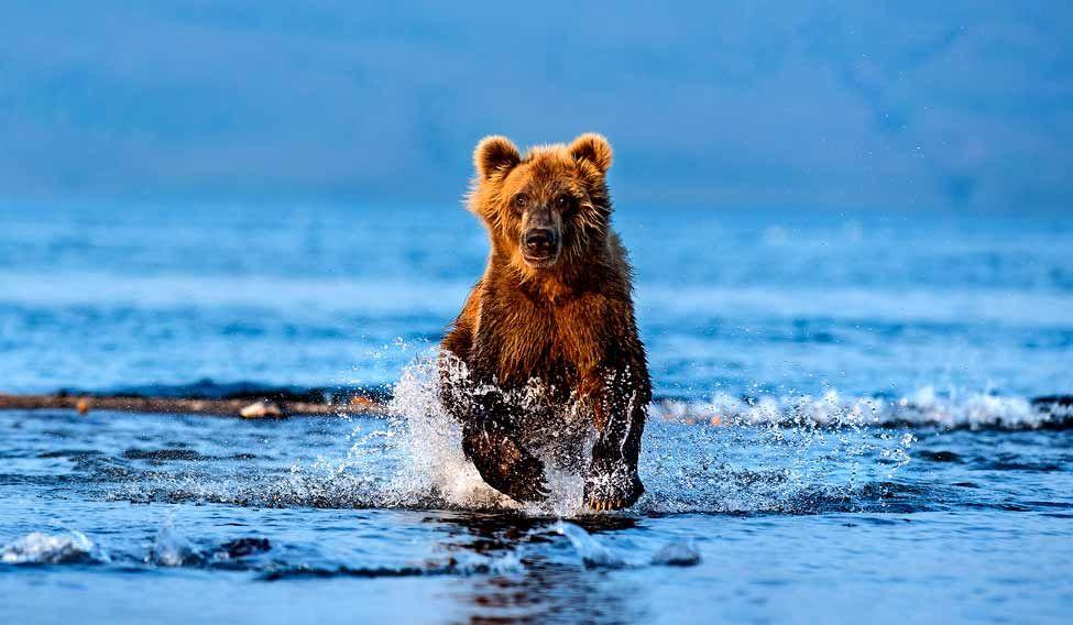 brown-bear-mohan