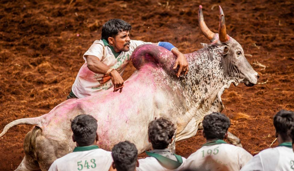 Jallikattu and other cruel sports